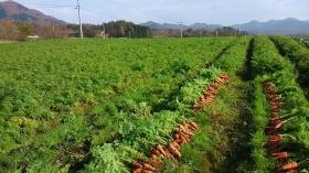 我が家の人参畑でございます♫ 緑の中に鮮やかなオレンジ色(^^) キレイでしょ?♪ 泥付きだけど(^^;