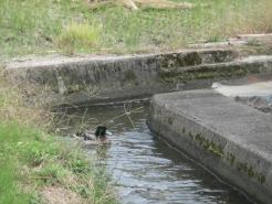井手で優雅に泳いでいます。 田んぼに水があるときにも来て欲しい~