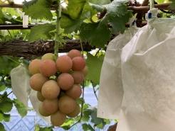 ゴルビー 今年最終収穫となります。