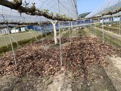 5/5 路地栽培  芽が出始めたばかり、落ち葉を敷きました