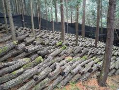 《ほだ場》こちらに並べられた、原木より椎茸が発生します。原木栽培は、菌床栽培より食味が優ります。