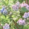 蒜山高原 Cultivate Garden カルチベート観光ブルーベリー園