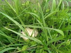 途中、草の中にカエルの卵を見つけました。田んぼは中にも外にも生き物がたくさん!!
