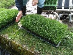 苗を田んぼへ運んで、早速田植えの準備をします。ここで使うのが、「苗取りボード」です。写真手元に写っている白いヤツです。育苗箱から苗を丸ごと外すことができます。外した苗を田植え機へセットできたら、田植えスタートです。