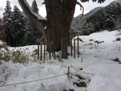 かなりの積雪。佐波良の大杉の周りも雪で覆われていました。