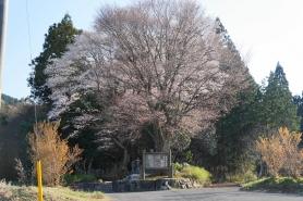 黒岩の山桜(平成26年4月23日撮影) 根本周り10m、高さ16mの県の天然記念物。 個人の所有の看板がありますが、その歴史を感じさせます。