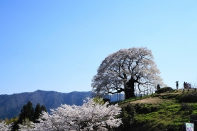 醍醐桜(平成26年4月14日撮影) 満開な桜もいいですが、葉桜も見事だそうです。 まさに孤高の大桜。