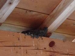 ツバメの巣。 糞よけのカバーをするたびに、別の場所にふえています。 現在、5つの巣ができております。 ツバメさんのマンションと化しています。  ひなは、まだのようです。