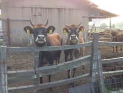 牛舎があるおうちもたくさんあります。 人なつっこいジャージー牛が、寄って来てくれます。